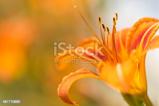 A Macro shot of a Orange Daylily also called hemerocallis on a sunny day.