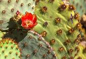 Orange Desert Cactus Flower of Arizona