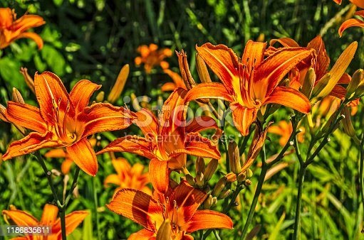 Vibrant lilies in the middle of the day with full sunshine and lots of contrast