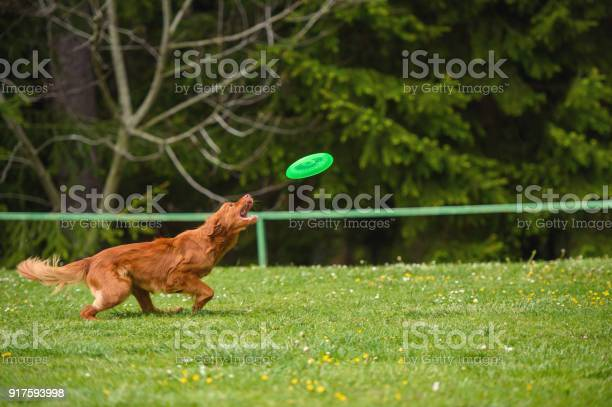 Orange dog catching frisbee picture id917593998?b=1&k=6&m=917593998&s=612x612&h=91o5afbyk6zio2iuvf5prq6owepzc9x7y9dk1efsix0=