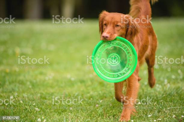Orange dog with frisbee picture id917321792?b=1&k=6&m=917321792&s=612x612&h=u8waolyipfv60ufme8pgorg3zx6q1e39q 8pp8hrk3k=