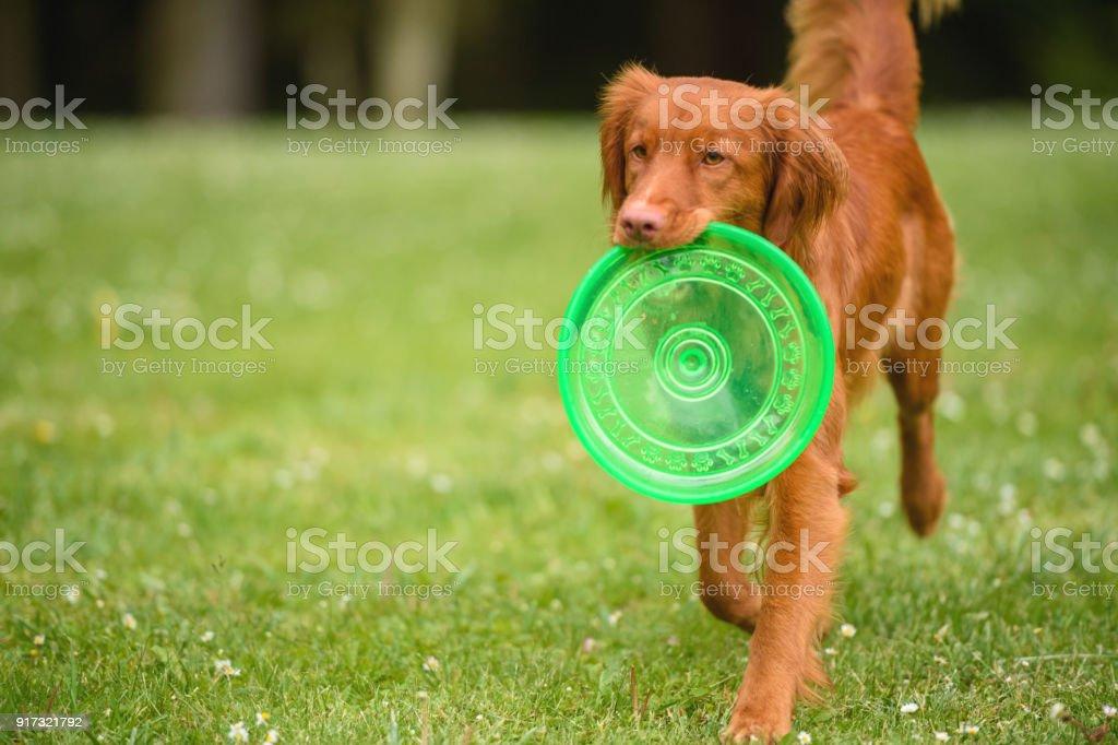 Orange Hund mit Frisbee – Foto
