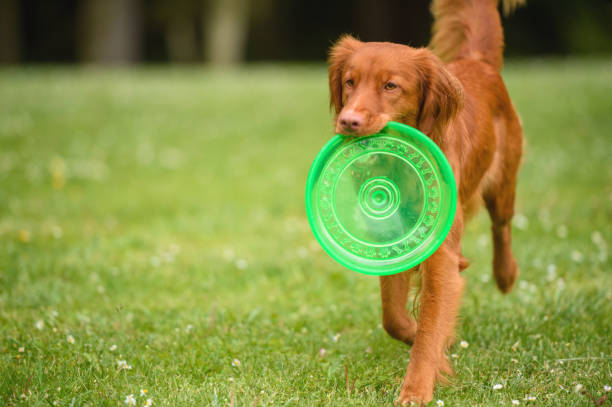 Orange Dog With Frisbee Orange dog with Frisbee in mouth plastic disc stock pictures, royalty-free photos & images