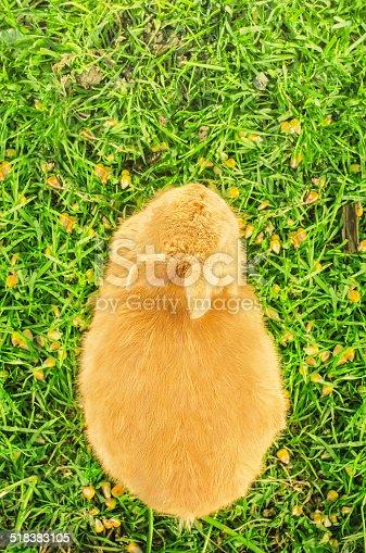 istock Orange domestic bunny eating corn - bird's eye view 518383105