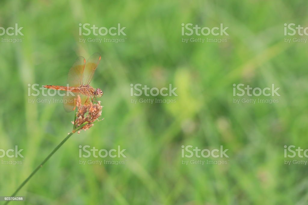 Orange dragonfly on flower green grass in the morning stock photo