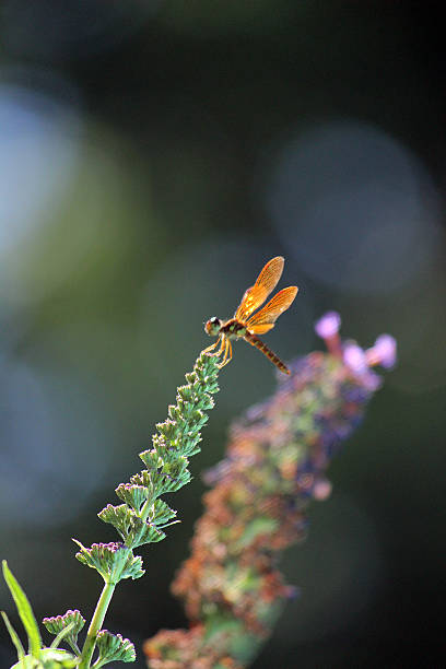 orange dragonfly sparkles in sunlight - pam schodt stock photos and pictures