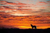 Orange dramatic sunrise with howling wolf silhouette