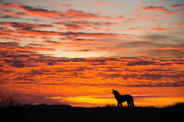 orange dramatic sunrise with howling wolf silhouette - carnivora stock photos and pictures