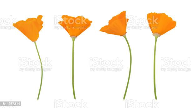 Orange eschscholzia set isolated on a white full depth of field picture id844567314?b=1&k=6&m=844567314&s=612x612&h=rfzdnuhypkcjuxahofla8yijfdrdbfkmq4r2utzdljy=