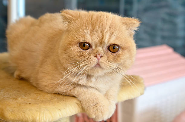 Orange Exotic Shorthair on a Cat Tree Orange Exotic Shorthair on Cat Tree in Cafe exoticism stock pictures, royalty-free photos & images