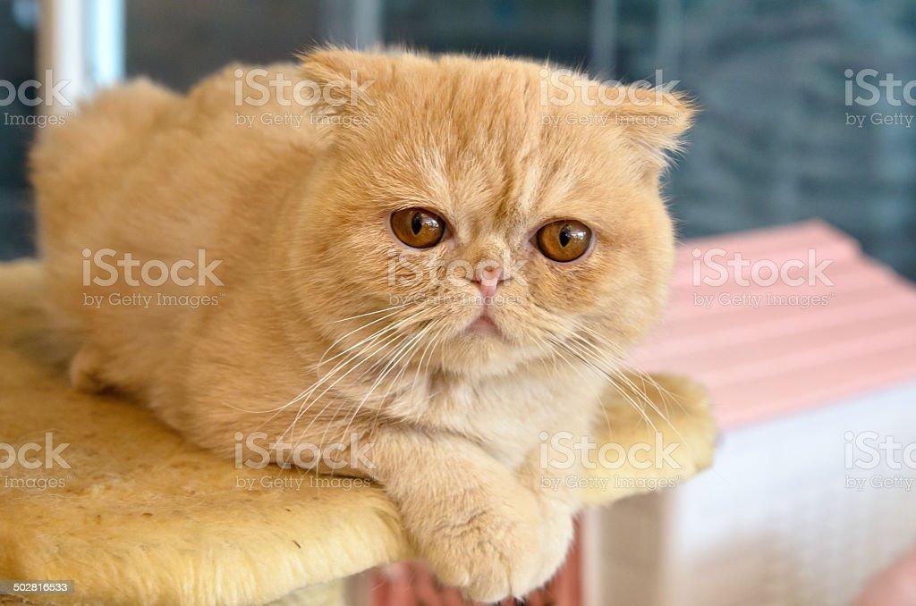 Orange Exotic Shorthair on Cat Tree stock photo