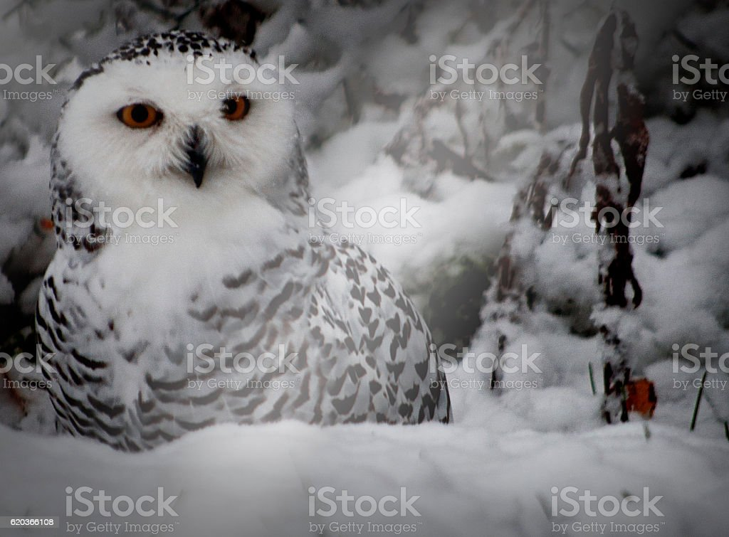 Orange eyed white and black owl in snow foto de stock royalty-free