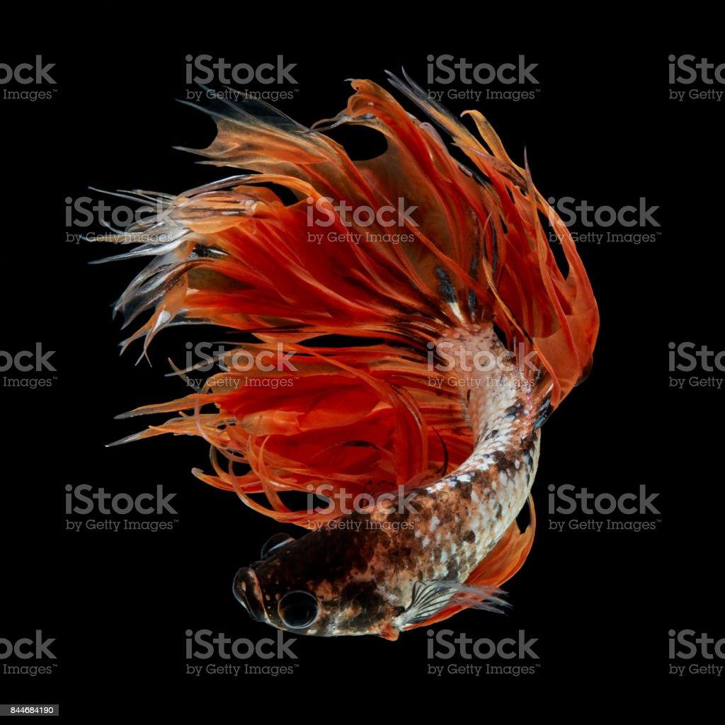 Orange Fancy Crowntails stock photo