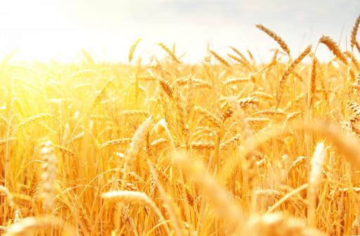 Orange field of wheat stalks in sunlight