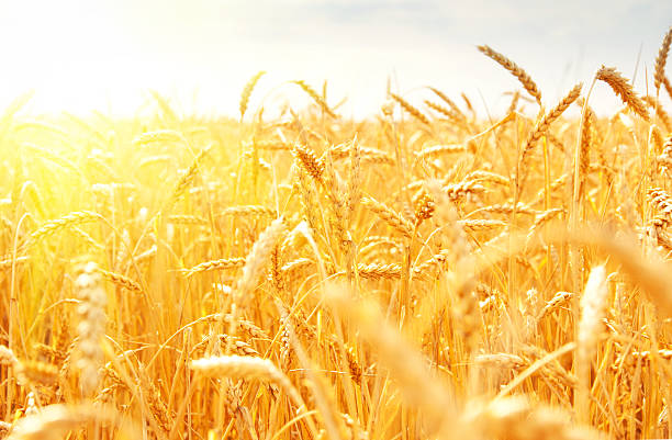 Orange field of wheat stalks in sunlight wheat field hay stock pictures, royalty-free photos & images