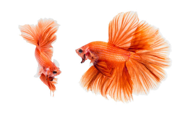 Orange fighting fish stock photo