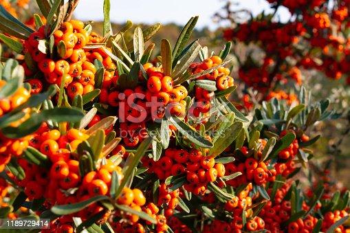 pyracantha angustifolia, plant
