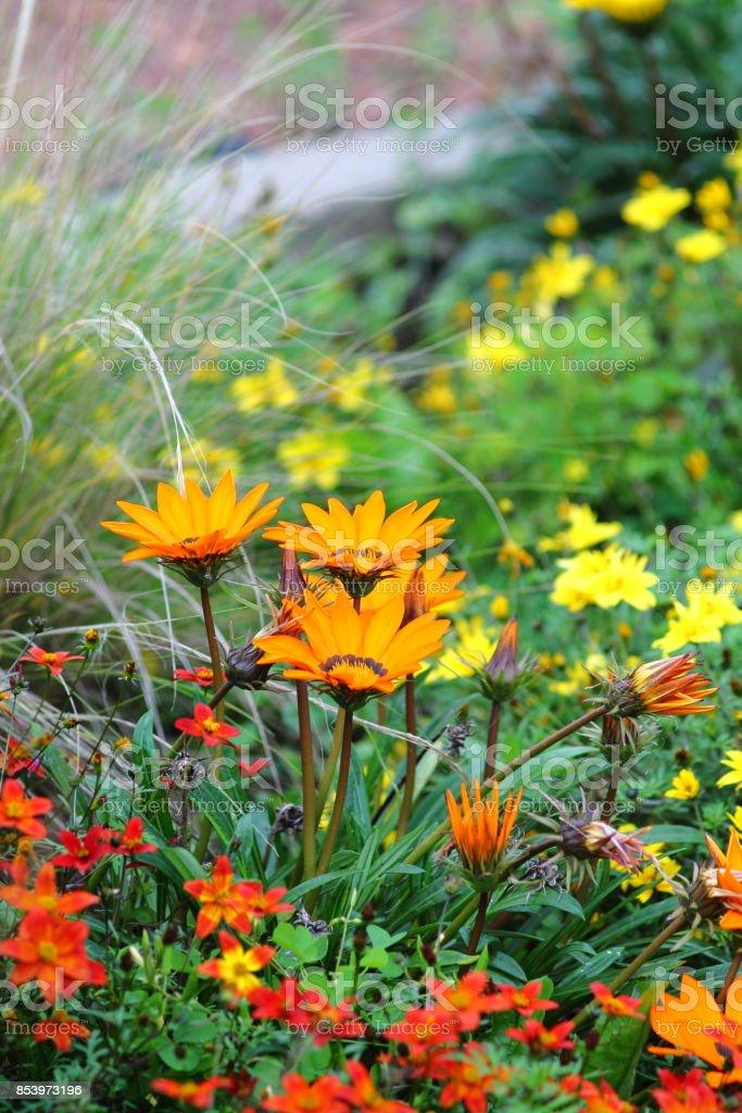 Orange firewheel (gaillardia pulchella) blooming in german flowerbed. stock photo