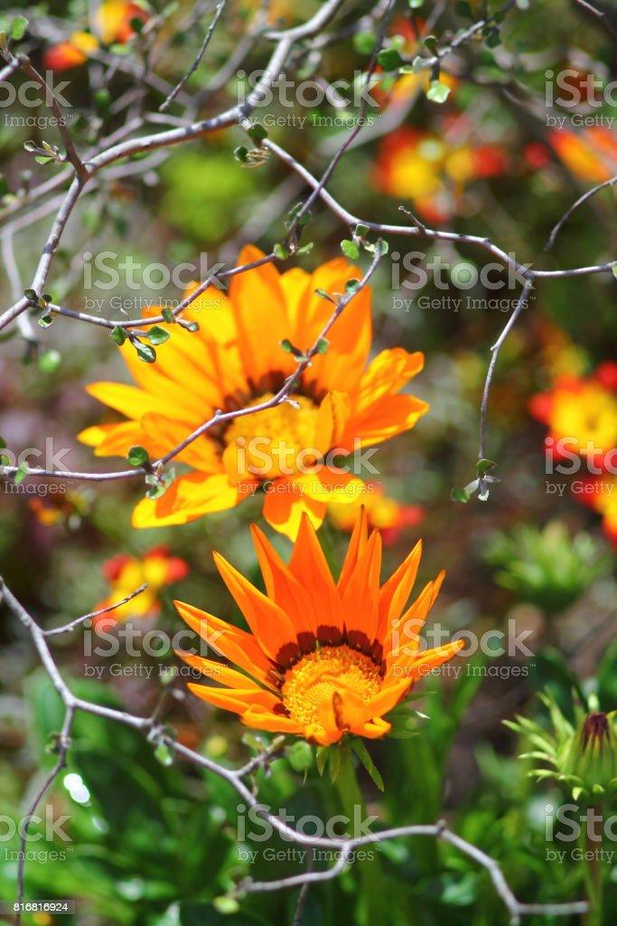 Orange firewheel flowers (gaillardia pulchella). stock photo