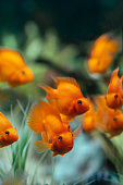 Orange fish in an aquarium. Red Parrot Cichlid.Cichlasoma citrinellum. Different focus