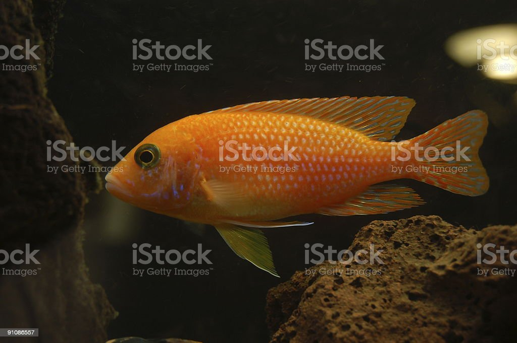 orange Fish stock photo