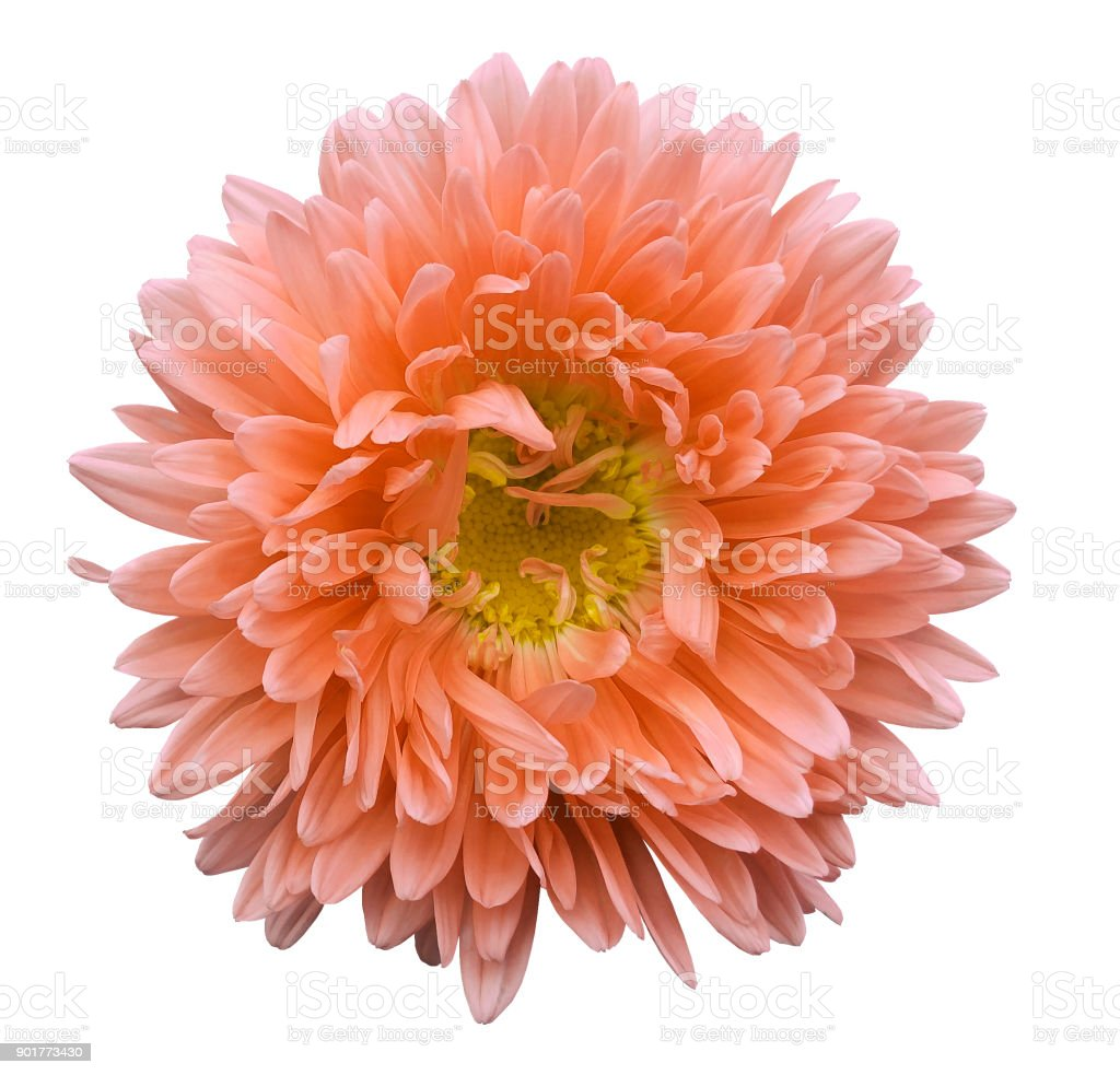 Orange Flower Aster On A White Isolated Background With Clipping