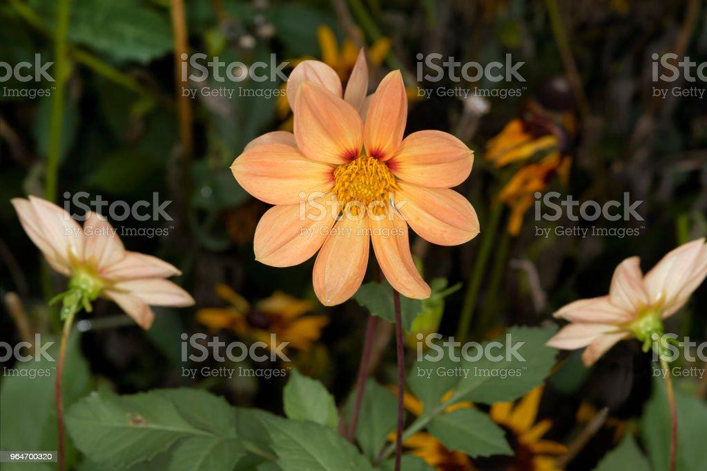 Orange flower bud royalty-free stock photo