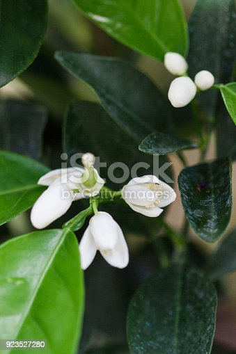 White Orange Flower Buds on an Orange tree in South Florida.