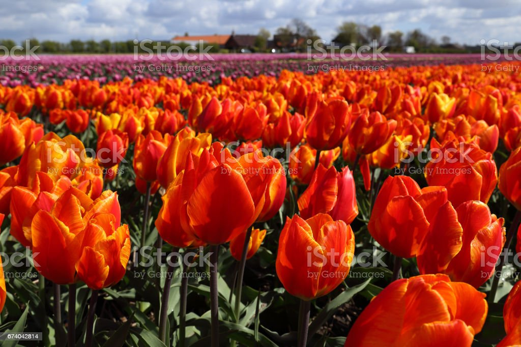 Orange flower field in Holland royalty-free stock photo