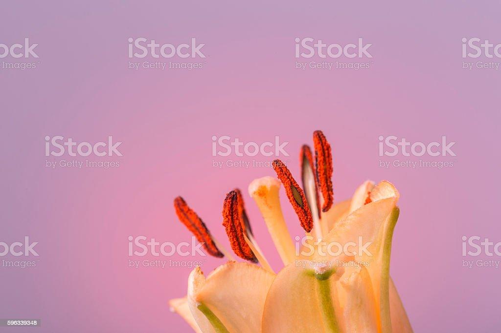 Orange flower in bloom on a smooth pink background Lizenzfreies stock-foto