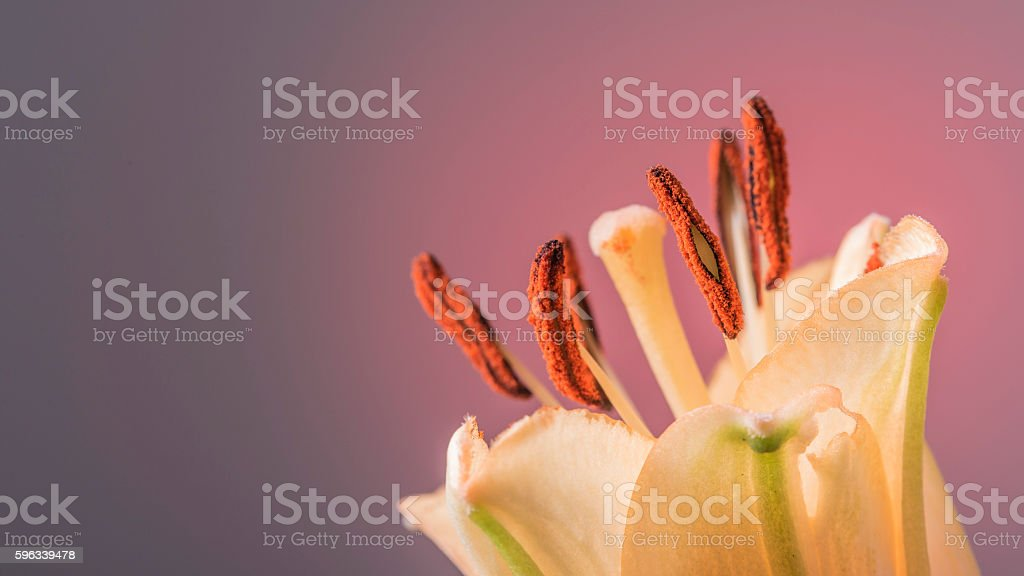 Orange flower in bloom on a smooth pink background royalty-free stock photo