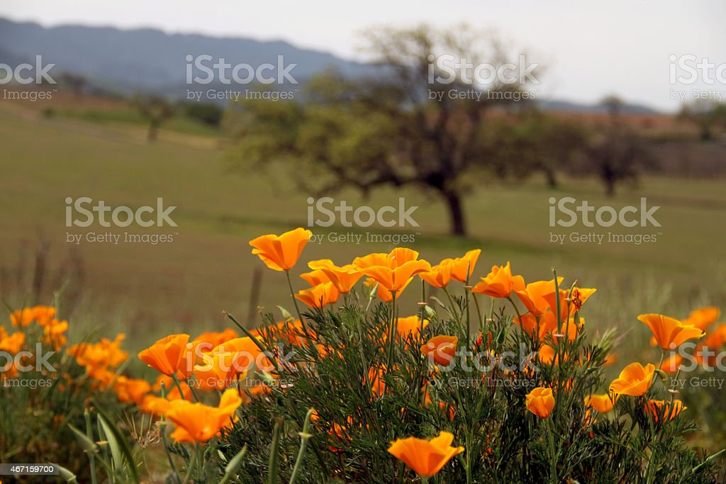 Orange Flower in the Nature & Mountain in the background stock photo