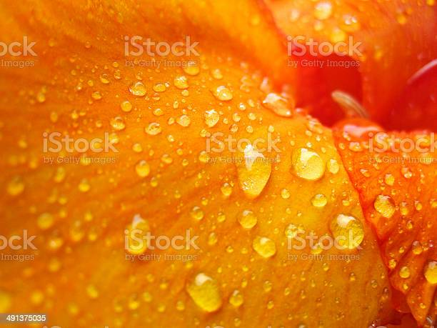 Orange flower in water drops picture id491375035?b=1&k=6&m=491375035&s=612x612&h=fxyytnzmfc3dbzapjnobo2p cfvmaxgv lnplmg4edc=