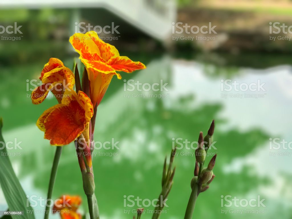 orange flower near the pond foto stock royalty-free