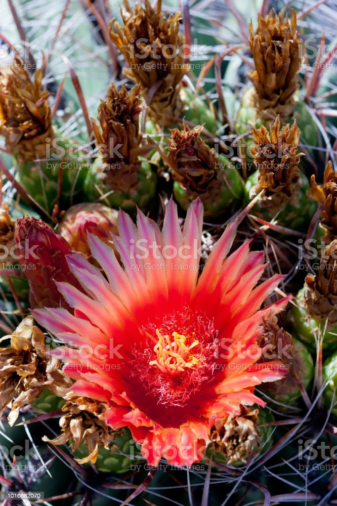 Orange flower on barrel cactus stock photo