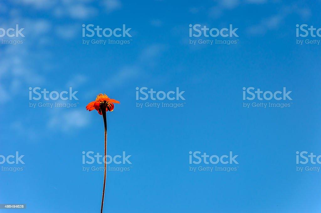 Orange Blume auf bluesky – Foto