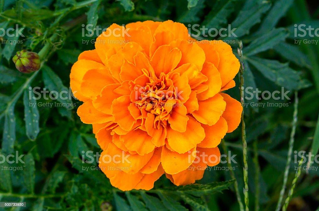 Orange Fleurs Vivaces Aster Dans Le Jardin Photos Et Plus D Images
