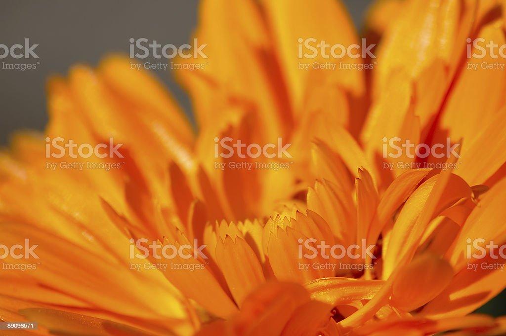 Flor de Orange foto de stock libre de derechos