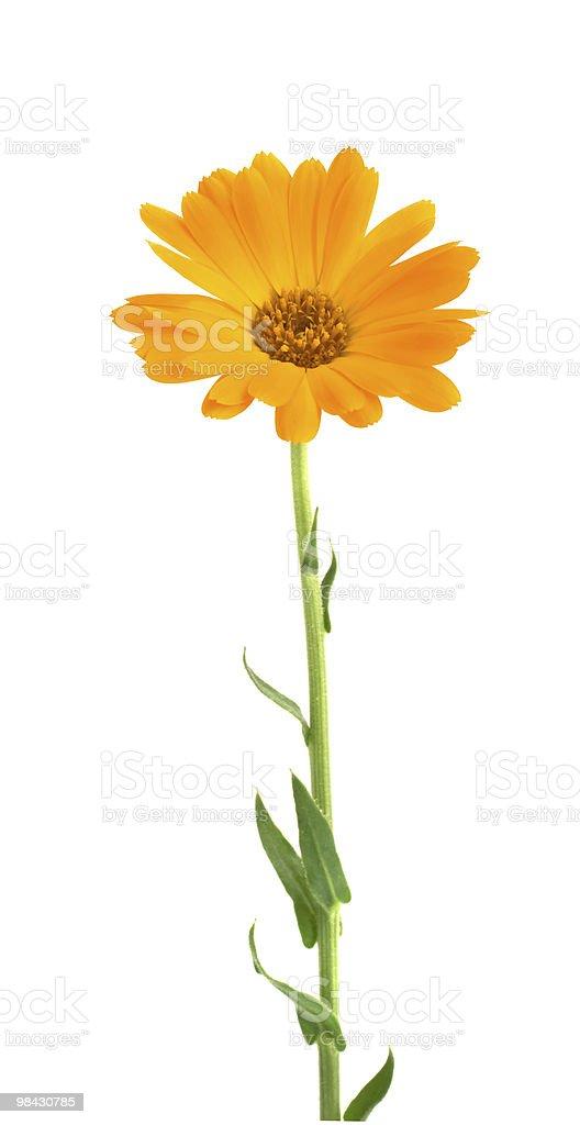 Fiori d'arancio foto stock royalty-free