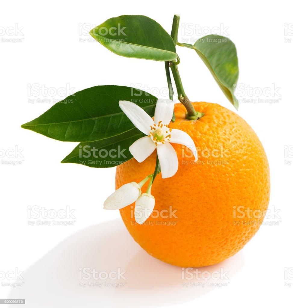 Orange flowers, buds and fruit stock photo
