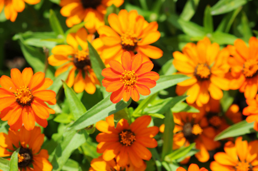 orange flowers field background of Zinnia]