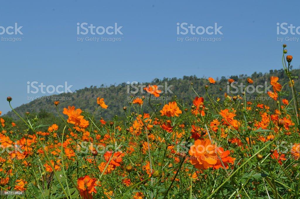Orange flowers field stock photo