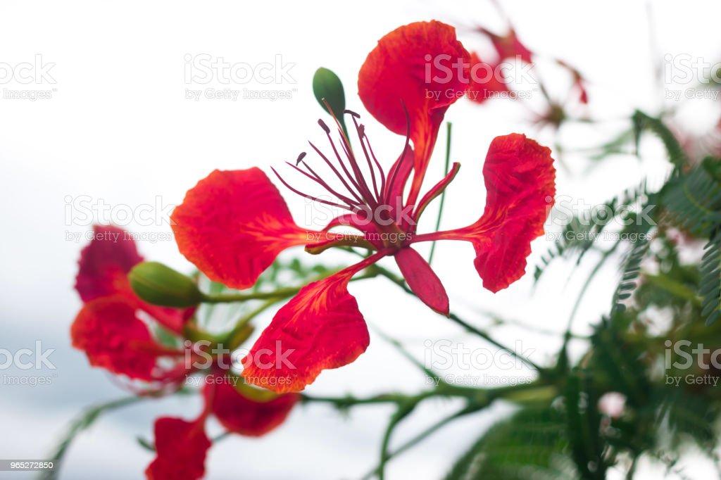 Orange Flowers - Flam-boyant,The Flame Tree or Royal Poinciana zbiór zdjęć royalty-free