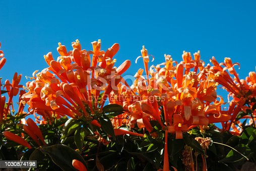Orange flowers in Tenerife. Orange flowers in Tenerife.