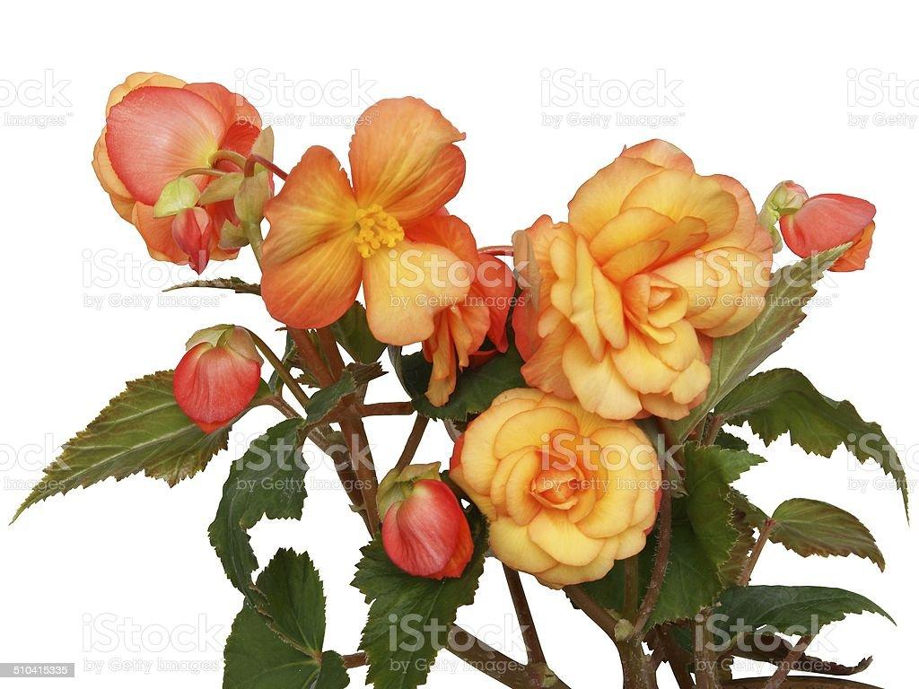 orange flowers of begonia pot-plant isolated stock photo