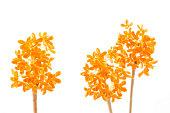 オレンジの花の甘いキンモクセイ