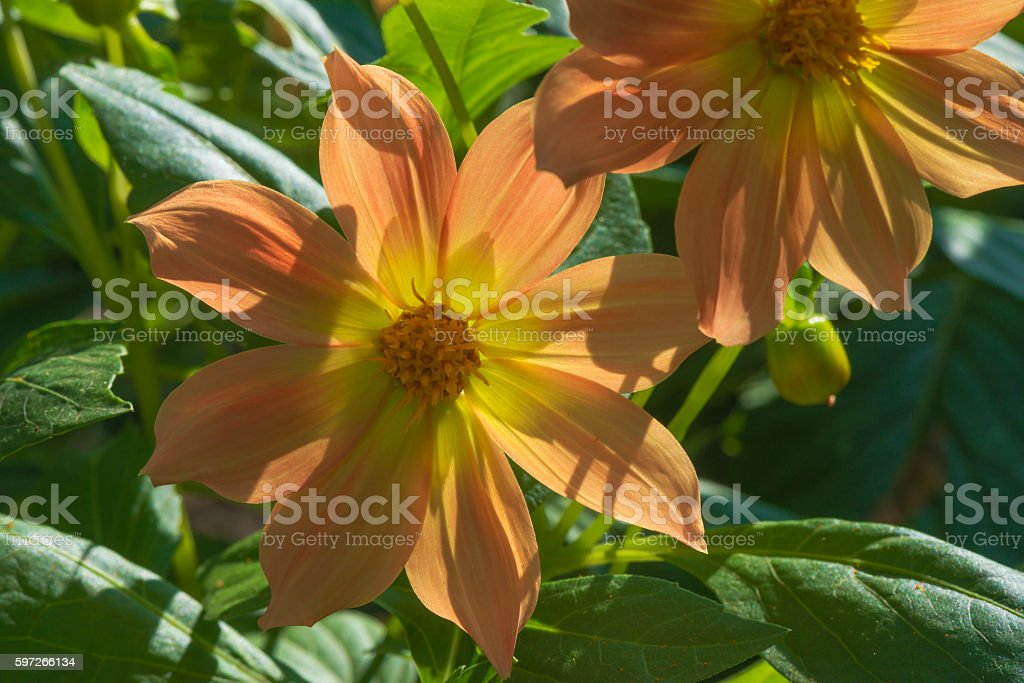 orange flowers on a green background royalty-free stock photo