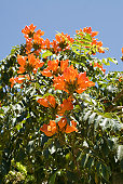 A vibrant bush with bright orange flowers against a blue sky. Vertical with copy space.