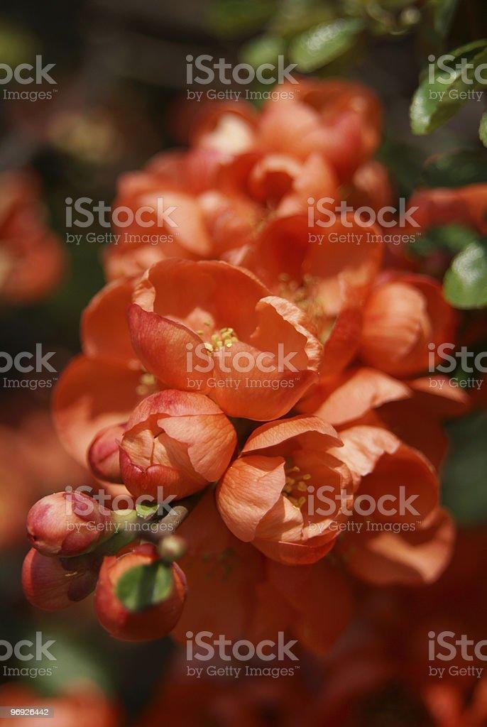 Orange flowers royalty-free stock photo