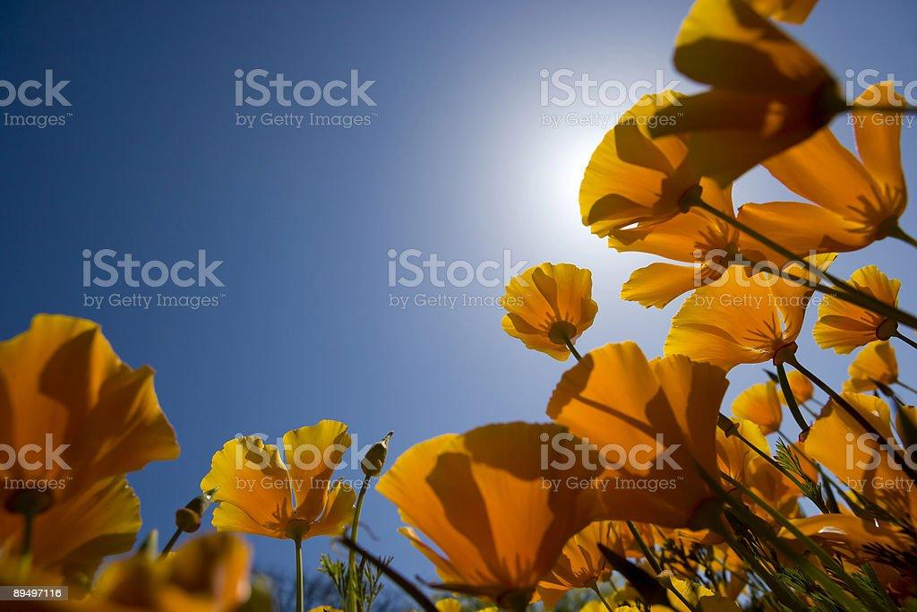 Pomarańczowe kwiaty z niebieski niebo w spring-Selektywna głębia ostrości zbiór zdjęć royalty-free